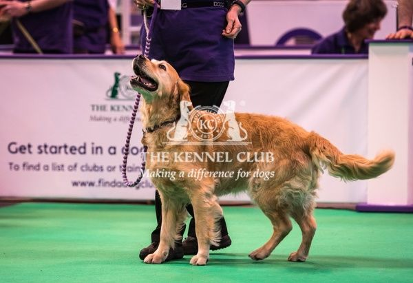 Callie takes part in a Rally demonstration in the Dog Activities Ring during day 2 of Crufts 2016. Handler is Elaine