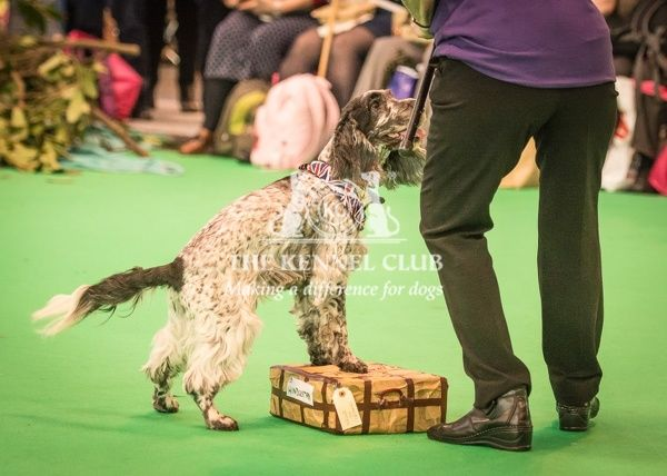 Carole Turton with Bracken (age 10) take part in the Heelwork to Music display in the Dog Activities Ring during Day 2 of Crufts 2016