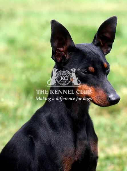 English Toy Terrier-Black and Tan