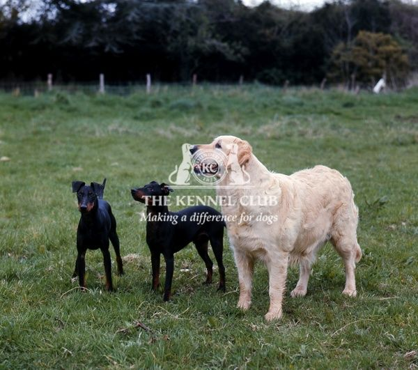 two manchester terriers with a golden retriever