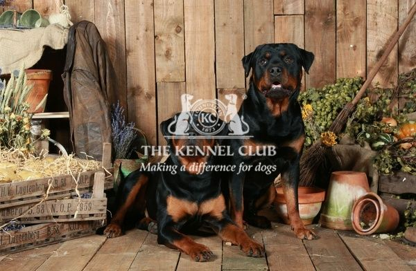Rottweilers. A portrait of two Rottweilers inside