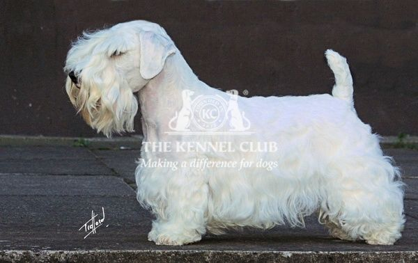 A portrait of a Sealyham Terrier standing outside shown in profile