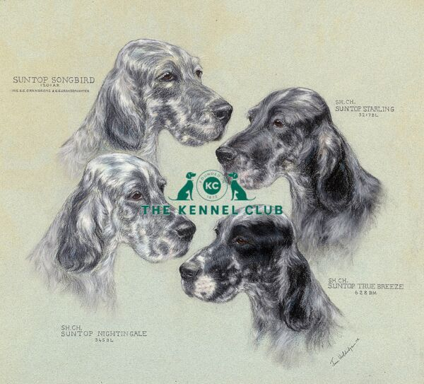 Suntop English Setters - four head studies   Suntop Songbird, Suntop Nightingale, Suntop Starling, Suntop True Breeze