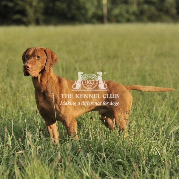 A Hungarian Vizsla with full tail