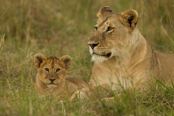 African Lion Panthera Leo Lioness With Cubs In The Masai Mara Game