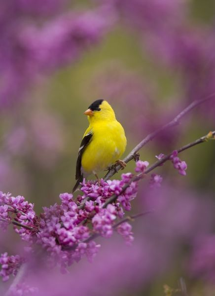 American Goldfinch (Carduelis tristis) male perched in flowering Eastern Redbud, Freeville NY. Digitally retouched image