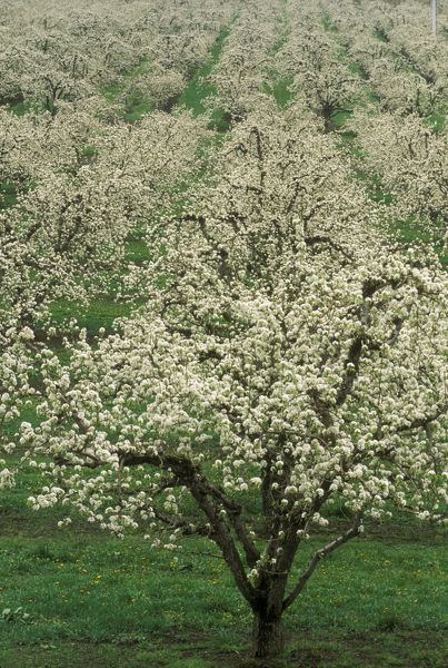 Apple Orchard in bloom, OR produces about 200 million lbs of apples annually