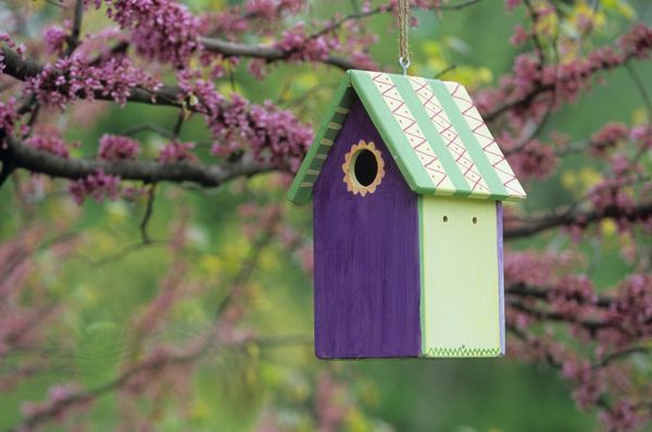 Bird House Nest Box in Eastern Redbud Tree, Spring, Marion Co., Illinois (Cercis canadensis)