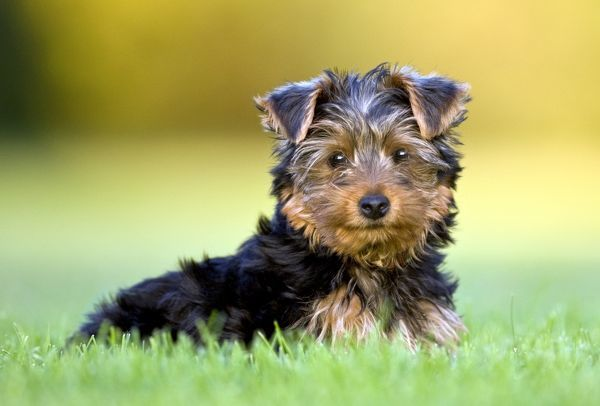 Domestic Dog, Yorkshire Terrier, Portrait of a Puppy, eye contact, Eastern Colorado