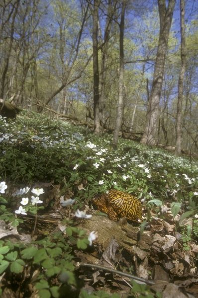 Eastern Box Turtle in Spring Forest (Terrapene c. carolina), MI