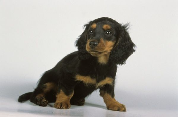 long haired dachshund puppy photo prints 6117840 from media