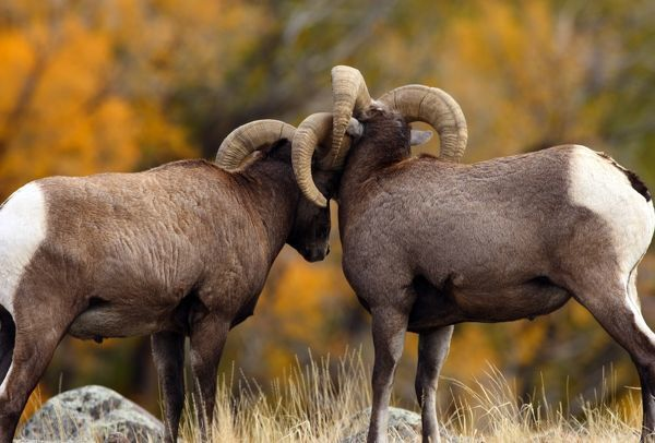 Rocky Mountain Bighorn Sheep (Ovis canadensis) In fall color. Montana
