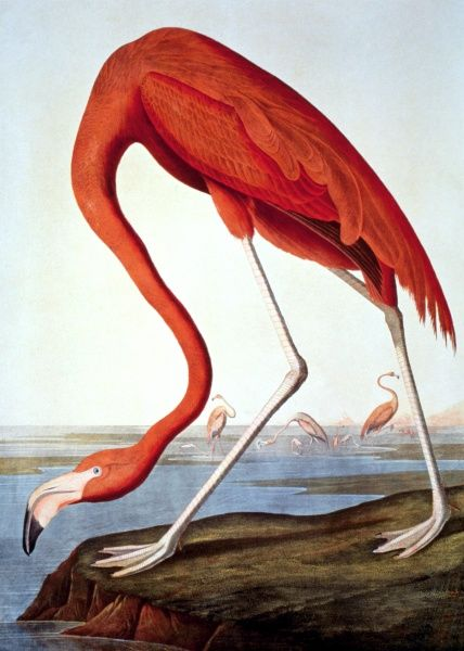 American Flamingo Phoenicopterus Ruber Lithograph 1858 After John James Audubon