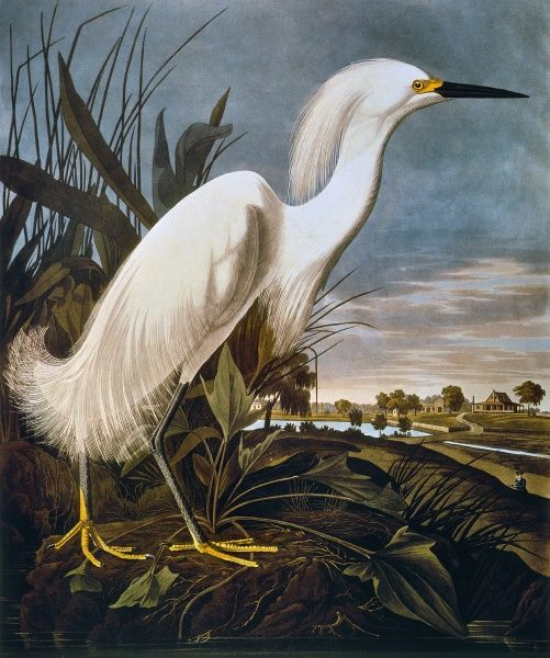 AUDUBON: EGRET.  Snowy egret (Leucophoyx thula), from John James Audubon's 'The Birds of America', 1827-1838