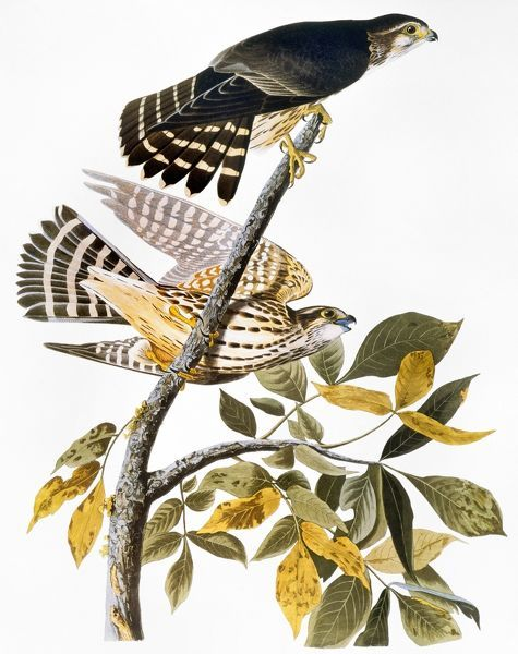 AUDUBON: HAWK.  Merlin, or pigeon hawk (Falco columbarius), from John James Audubon's 'The Birds of America', 1827-1838