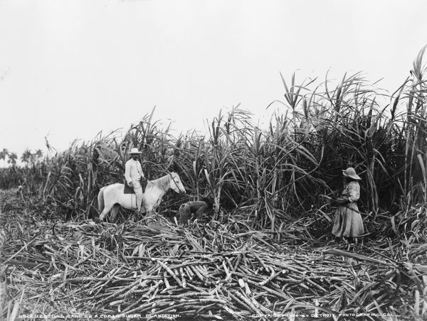 CUBA SUGAR PLANTATION Three People Cutting Sugar Cane On A Cuban Plantation