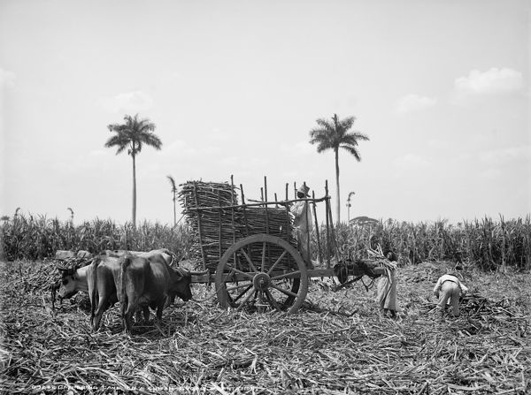 CUBA SUGAR PLANTATION Workers Gathering Sugar Cane On A Cuban Plantation
