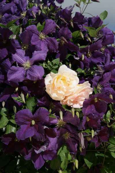 A cottage garden in the cotswolds with Clematis ( Jackmani ) and a climbing Rose
