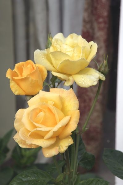 Yellow roses in a cotsdwold garden