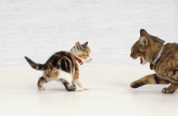 Adult cat hissing as fearless tabby and white kitten