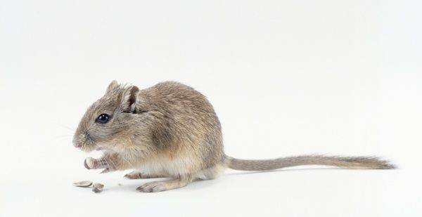 A gerbil eating seeds, side view