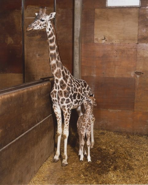Giraffe Mother With Baby Giraffa Camelopardalis Standing Together