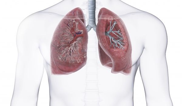Human lungs, cross-section - Photo Prints - 9593951 - Media Storehouse