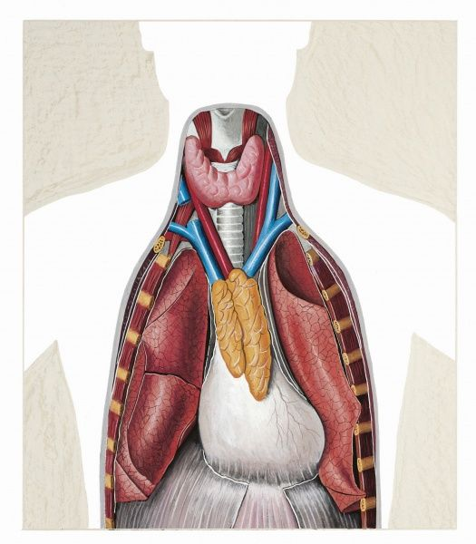 Illustration Of Abdominal Organs In Chest Medicine Human Anatomy