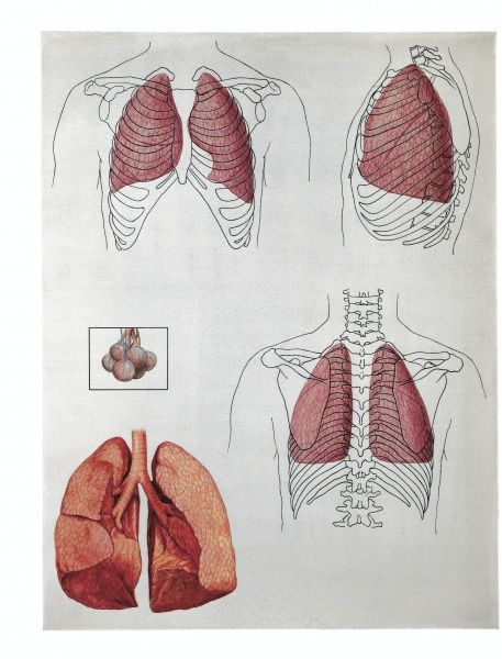Illustration of lung lobes position, front and back - Medicine ...