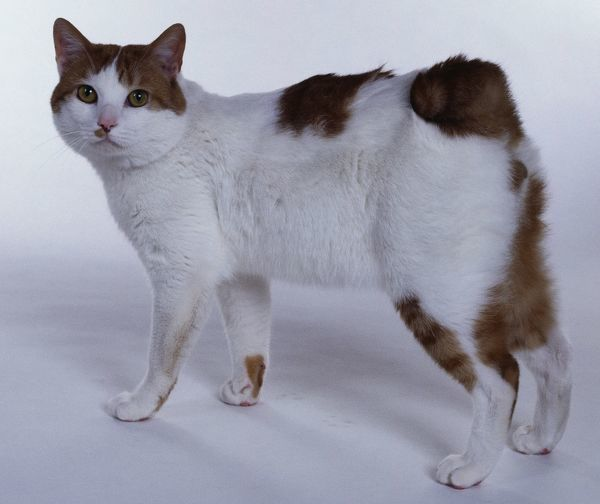 Japanese Bobtail cat, looking at camera