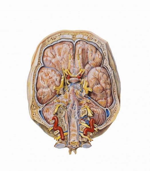 Nervous System Brain And Cervical Cord Drawing Medicine