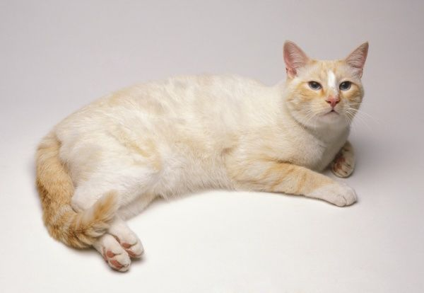 American Shorthair Cat Grey And White