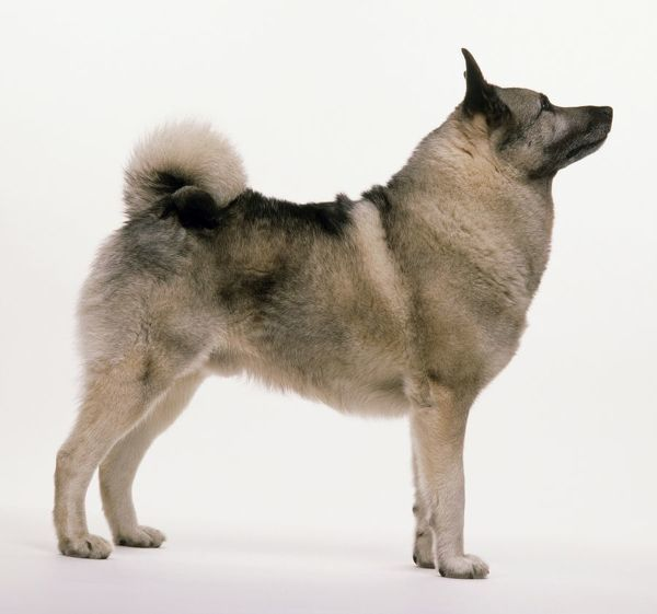 Sable Norwegian Elkhound dog, standing, side view