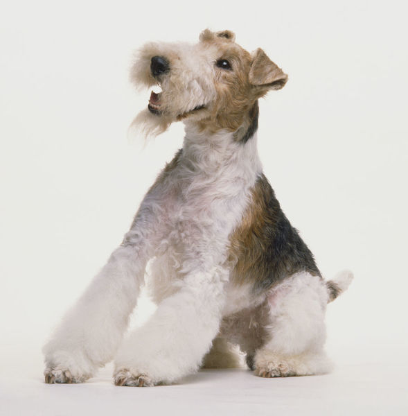 Seated Wire Fox Terrier (Canis familiaris) leaning backwards ...