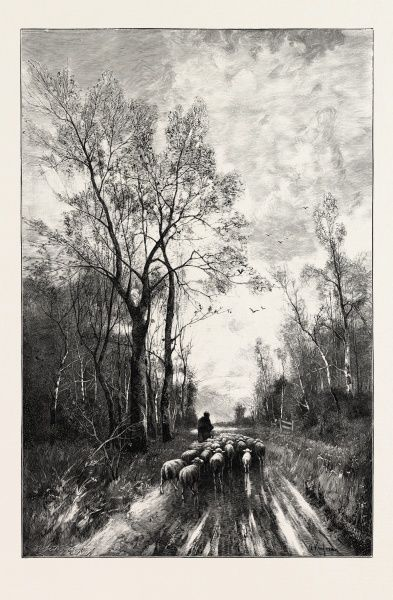 Sheep On The Homeward Way, 1893 Engraving
