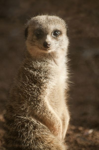 Cute meerkat (Suricata suricatta) at attention in Perth, Australia