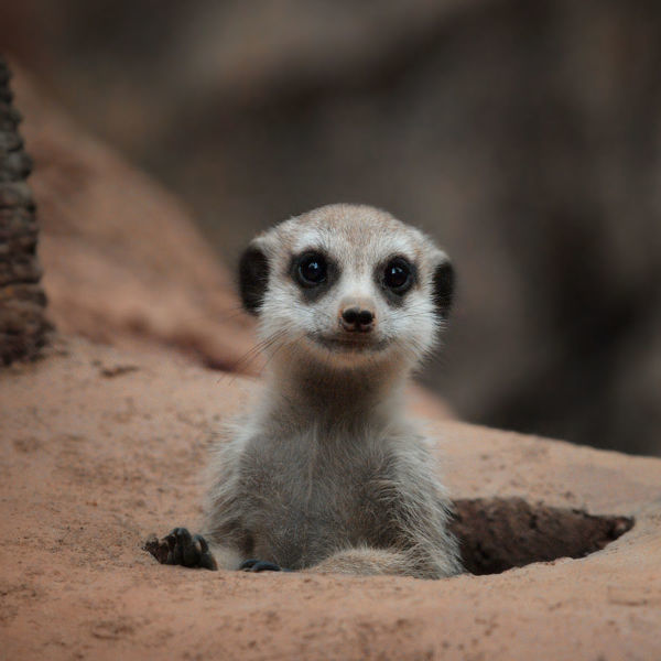 Smile ! :). a meerkat poking out from the hole