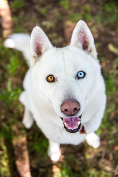 White Siberian Husky Dog With Different Color Eyes White Siberian