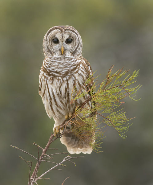 Barred Owl on Perch in Everglades