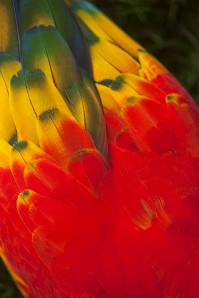 Costa Rica, Guanacaste Province, CaA?A?as, Close-up details of Scarlet Macaw (Ara macao) feathers in tree canopy in coastal rainforest
