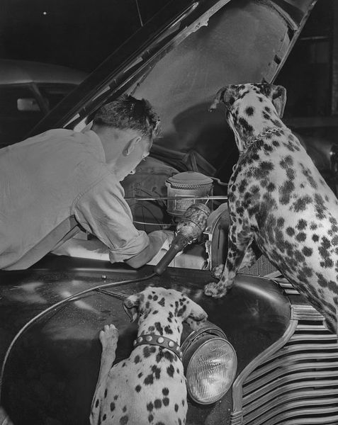Mechanic Luke Oreskovic being watched by dogs Duke and Jill as he works on his car engine circa 1950. (Photo by Graphic House/Archive Photos/Getty Images)