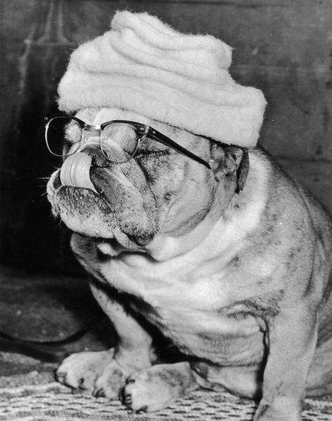 9th January 1960: Goldie, a bulldog in Camden, London, wearing a hat and glasses. (Photo by Fox Photos/Getty Images)