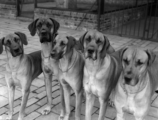 Great Danes. 15th April 1930: Great Danes at Mr Stewart's dog kennels in Ripley