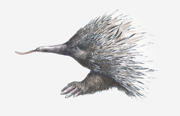 Illustration of Echidna (or Spiny Anteater)