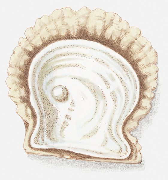 Illustration of pearl in shell (#13538231) Poster Print