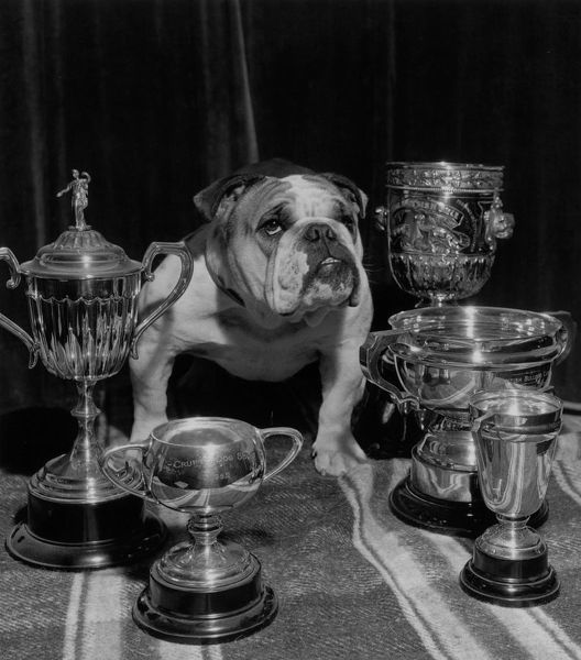 1952: A British bulldog with his cups,some rather dusty, including one won at Crufts. (Photo by Hulton Archive/Getty Images)