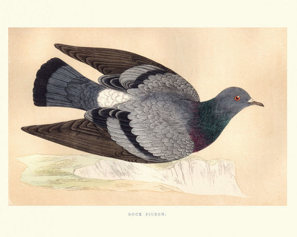 Vintage engraving of a Rock dove, rock pigeon or common pigeon (Columba livia) a member of the bird family Columbidae (doves and pigeons)