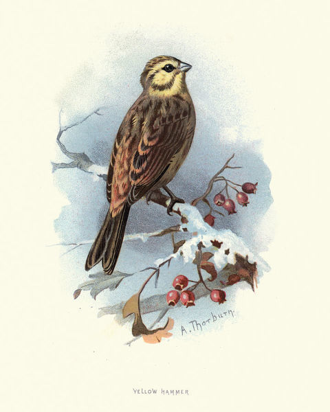Natural History, Birds, yellowhammer (Emberiza citrinella)