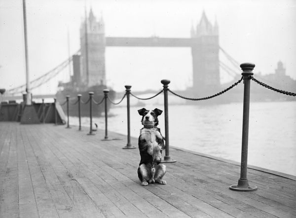 29th September 1931: Peter, the mongrel dog of Tower View in London begging on a jetty near Tower Bridge. (Photo by Fox Photos/Getty Images)