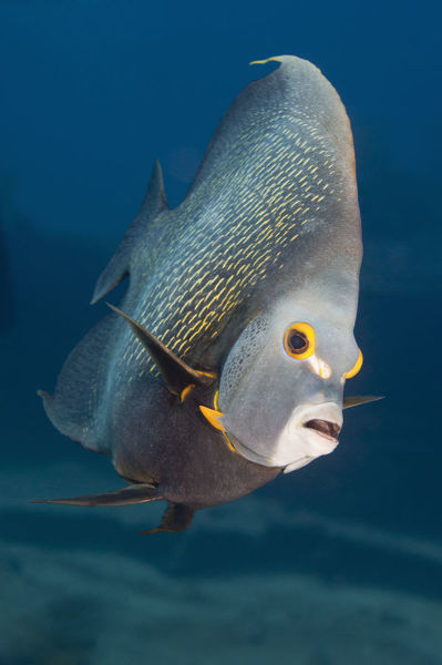 Tropical fish (Angelfish) on coral reef in Pacific ...